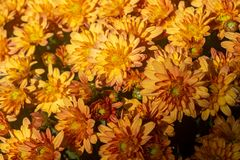 Bouquet big yellow and Red chrysanthemums on the street royalty free stock photo