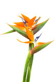 bouquet of bird of paradise flowers Royalty Free Stock Images