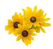 Bouquet of black-eyed Susan Stock Photography