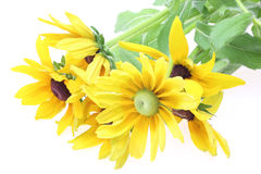 Bouquet of black-eyed Susan Royalty Free Stock Photo