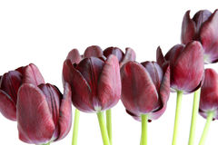 Bouquet of black tulips Royalty Free Stock Image
