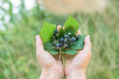Bouquet of blackberries on the stems lying on the leaves in the hens of the girl . close - up stock photography