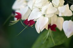 Bouquet of bleeding glory-bower beautifying the garden. Bleeding glory-bower, Clerodendrum thomsoniae, flower of the  Lamiaceae family native to tropical west Stock Photo