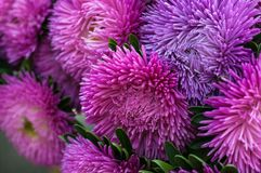A bouquet of blooming Callistephus chinensis. Lush fresh magenta and pink flowers asters growing in the flower bed. royalty free stock images
