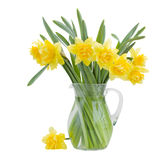 Bouquet of blooming  daffodils Royalty Free Stock Images