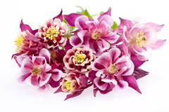 Bouquet blooming flowers of Aquilegia vulgaris Stock Photos