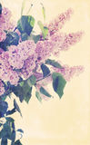 Bouquet of blooming lilacs Royalty Free Stock Images