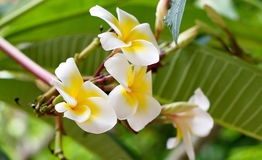 Bouquet of blooming white Plumeria or Frangipani flowers Royalty Free Stock Image