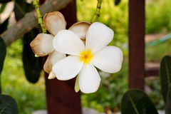 Bouquet of blooming white Plumeria or Frangipani flowers Royalty Free Stock Photos