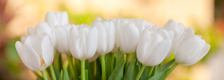Bouquet blooming white tulips against spring garden background Royalty Free Stock Images