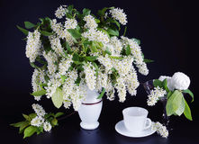 Bouquet of blossoming bird cherry in a vase on black background Royalty Free Stock Photography