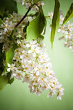 Bouquet of a blossoming bird cherry Stock Photography