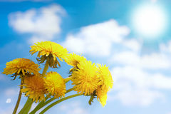 Bouquet of blossoming dandelions. Against the dark blue sky Royalty Free Stock Photo
