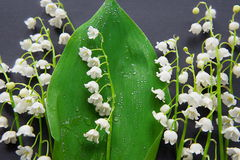 Bouquet of blossoming lily of the valley Royalty Free Stock Photography