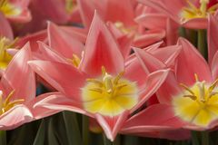 Bouquet of blossoming pink tulips stock images