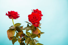 Bouquet of blossoming red roses flowers on blue Stock Image