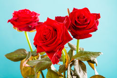 Bouquet of blossoming red roses flowers on blue Stock Images