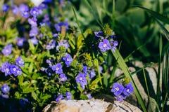 Bouquet blu dei fiori dei nontiscordardime della primavera immagine stock libera da diritti