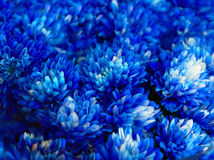 Bouquet of blue autumn chrysanthemum Royalty Free Stock Image