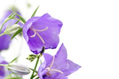 Bouquet of blue campanulas Royalty Free Stock Photography
