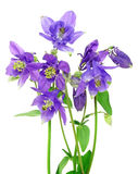 Bouquet of blue columbine flowers royalty free stock image