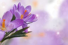 Bouquet of blue crocuses with drop Royalty Free Stock Images