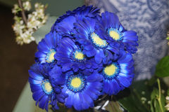 Bouquet of blue gerbera flowers Royalty Free Stock Image