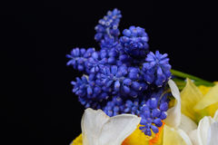 Bouquet of blue Grape Hyacinth, Muscari armeniacum flowers and y Stock Images