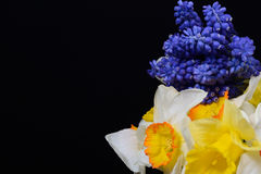 Bouquet of blue Grape Hyacinth, Muscari armeniacum flowers and y Royalty Free Stock Images
