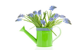 Bouquet blue grape Hyacinths Royalty Free Stock Photos