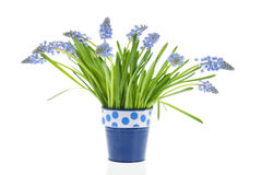 Bouquet blue grape Hyacinths Royalty Free Stock Images