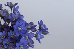 A bouquet of blue hepatica Stock Photo