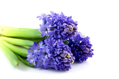 Bouquet blue hyacinth Royalty Free Stock Photos