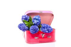 A bouquet of blue hyacinths Stock Image