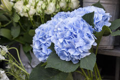 A bouquet of blue hydrangeas for different occasions. Bouquet of blue hydrangeas for different occasions Stock Image