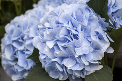 A bouquet of blue hydrangeas for different occasions. Bouquet of blue hydrangeas for different occasions Royalty Free Stock Image