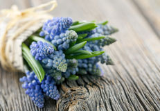 Bouquet of blue muscari Stock Image