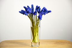 Bouquet of blue spring flowers Grape Hyacinths stock images