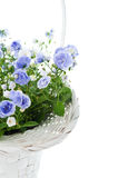 Bouquet of blue spring flowers in white basket Royalty Free Stock Photos