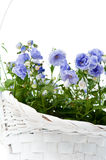 Bouquet of blue spring flowers in white basket Royalty Free Stock Photography