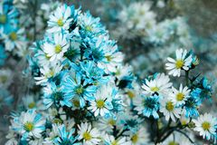 A bouquet from blue and white chamomiles at the flower market. Chiang Mai, Thailand Stock Photos
