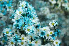 A bouquet from blue and white chamomiles at the flower market. Chiang Mai, Thailand Stock Photography