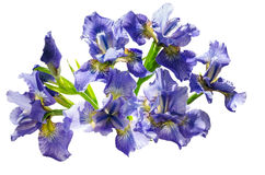 Bouquet blueflag or iris flower Isolated on white background Royalty Free Stock Image