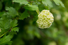 Bouquet branch white hydrangea fresh bright against a background of green foliage spring. Mood Stock Photos