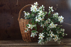 Bouquet from branches of a gentle white jasmin in a wattled bask. Et royalty free stock photo