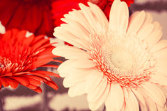 Bouquet of bright colorful gerbera flowers Royalty Free Stock Photography