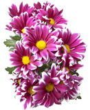 Bouquet of bright crimson chrysanthemums Stock Image