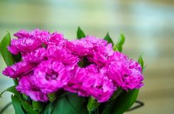 Pink carnation flowers Royalty Free Stock Images