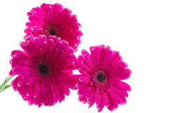 The bouquet of bright pink gerbera. On a white background Stock Photography