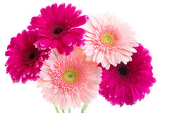 The bouquet of bright pink gerbera. On a white background Stock Photo